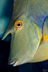 The Unicorn (Lea's UW Photography) Tags: underwater redsea fins unicornfish unterwasser canon100mm canon7d nasendoktor leamoser