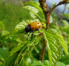 Coleottero tirato a cera (fotomie2009 OFF) Tags: fauna bug insect beetle insetto italica coleoptera chrysomelidae insecta coleottero clytrinae lachnaia