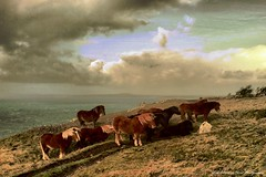 Windswept Cornish ponies huddle together for warmth on a cold winters evening on the cliff-tops... (Wilamber) Tags: friends sea sky horses cliff storm cold grass stone clouds geotagged interesting waves friendship path exploring small group warmth stormy william lord pony together ponies exploration dartmoor winters huddle cornish chard clifftop 5photosaday mygearandmepremium mygearandmebronze joysaphinesfaves lordwilliamchard wwwlordwilliamchardcouk