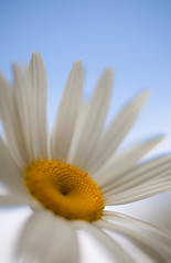 Marguerite (PeterChad) Tags: uk england orange flower macro love nature beauty canon gold golden soft dof heart cheshire affection joy petal photograph gift single daisy bloom mk2 5d tt marguerite selectivefocus goldenheart welcomeuk