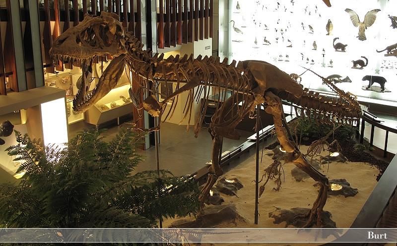 暴龍骨骼模型