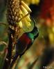 Greater Double-collared Sunbird on Aloe arborescens (Martin_Heigan) Tags: camera winter flower bird nature birds digital southafrica succulent nikon dof martin bokeh double photograph greater d200 dslr iridescence collared afra sunbird suidafrika winterflowers aloearborescens sunbirds suikerbekkie heigan cinnyris 70300mmf4556gvr aalwyn vetplante wsnbg mhsetbirds mhsetwildlife mhsetbokeh krantzaloe suikerbekkies 3july2010 winterblomme mheigangallery mheiganselects