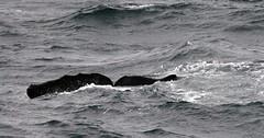hvalsperm ocean
