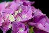 "Flower, Hydrangea ""Universal"" (nekonomania) Tags: hydrangea アジサイ reddishpurple kyotobotanicalgarden 京都府立植物園"
