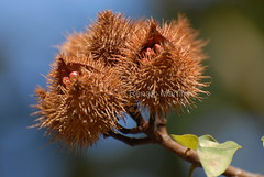Urucum (Bixa orellana) (re.fotografia) Tags: brazil brasil nikon plantas natureza liberdade vida d200 bichos selvagem semente urucum flres bixaorellana nikond200 refotografia renatoaugustomartins