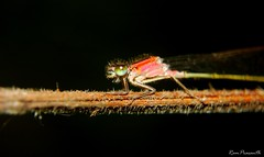 Damselfly (FLASH MEDIA CREATIONS) Tags: pictures nottingham uk wild england india macro nature birds animals advertising photography amazing interesting nikon pics fashionphotography wildlife creative reserve insects attenborough ram damselfly tamilnadu coimbatore designing professionalphotography foodphotography cbe productphotography prasanth attenboroughnaturereserve fmc industrialphotography advertisingphotography ramprasanth jewelleryphotography photographycompany designinglogo flashmediacreations productphotographyincoimbatore industrialphotographyincoimbatore professionalphotographysolutions photographyprintinglogo coimbatoreweb ramprasanthphotography