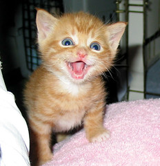 Tuffy is Happy to Meet You (whaas987) Tags: orange smile cat kitten tabby cutekitten beautifulkitten smilingkitten