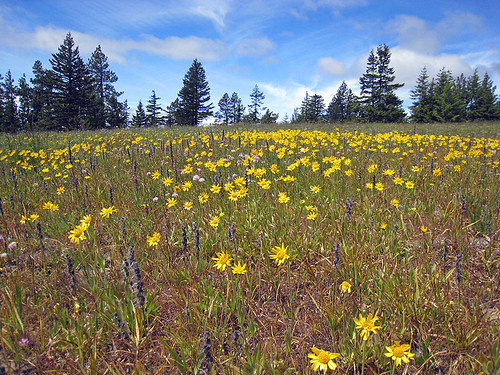 Wildflower field - Reecer Creek Road