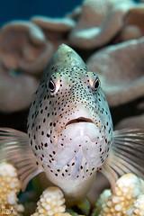 Freckled Hawkfish (Lea's UW Photography) Tags: underwater redsea fins unterwasser freckledhawkfish canon100mm paracirrhitesforsteri korallenwächter canon7d leamoser
