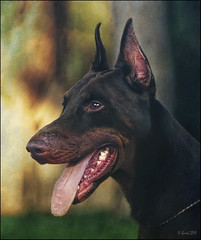 0477 Dobermann (QuimG) Tags: dog pet geotagged analgica favorites perro textures gos dobermann specialtouch quimg photoshopcreativo analgiques quimgranell joaquimgranell jotbesgroup justexcellentmacros obresdart