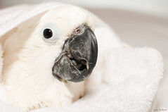 Angel after Shower Time 8 (wafwot) Tags: usa white bird angel u2 shower unitedstates parrot whidbeyisland highkey cockatoo too bathtime petbird showertime whidbey umbrellacockatoo oakharbor whitecockatoo d90 cacatuaalba exoticpets nikond90