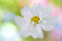 Summer Sonata (Jacky Parker Floral Art) Tags: white flower macro nature closeup flora single bloom softfocus cosmos sonata flowerhead bipinnatus frontfacing
