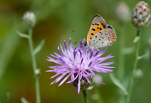 American Copper on Spotted Knapweed