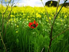 Esas pequeñas cosas (Jesus_l) Tags: españa europa valladolid colza amapola pequeñascosas cigales jesusl