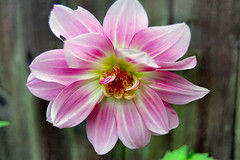 PINK (ronsaunders47) Tags: flowers gardens blooms