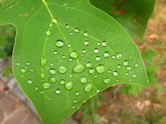IMG_3602 (pjpink) Tags: summer green water virginia beads leaf drops richmond top20nature rva 2010 foresthillpark