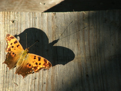 Eastern Comma and shadow