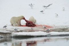 Two Polar Bears on Seal Kill (KEENPRESS) Tags: red snow reflection ice norway horizontal mammal outdoors photography frozen blood day killing wildlife gulls nopeople svalbard polarbear deadanimal seal watersedge aquatic sideview spitsbergen blubber dragging colorimage twoanimals animalthemes coldtemperature animalshunting svalbardislands
