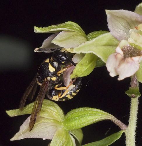 Pollinisateur orchidées 4786333893_8d2e944bb8
