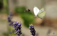 Großer Kohlweißling / Large White (7) (Ellenore56) Tags: life light summer white inspiration color colour nature animal butterfly garden insect licht loop sommer sony natur lavender july philosophy cycle physics environment imagination mathematics juli alpha economic creature magical farbe insekt garten chaostheory leben tier ecological umwelt lavendel largewhite butterflyeffect pierisbrassicae lebewesen disambiguation turbulenzen kohlweisling schmetterlingseffekt chaostheorie groserkohlweisling dslra350 sonyalphadslra350 philosofi ellenore56 13072010 dynamicl