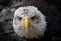 The eagle has landed (Skyler Hughes) Tags: sea white slr face yellow oregon america canon photography photo eagle head roseburg wildlife united bald images southern 7d piebald states hughes haliaeetusleucocephalus headed skyler haliaeetus leucocephalus skylerhughesphotography