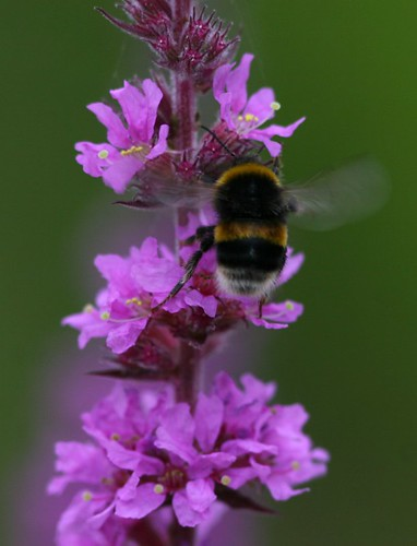 Bumblebee on Purple Loosestrife