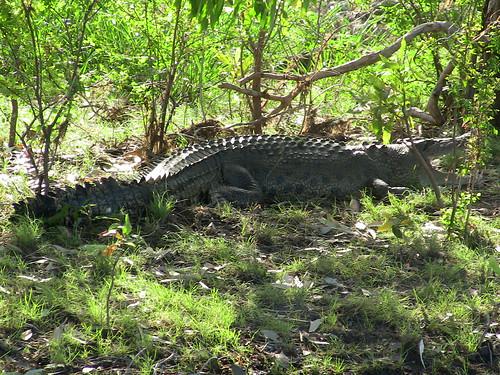 Yellow Water Cruise - crocodile basking