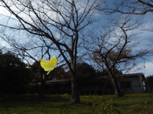 Eurema mandarina