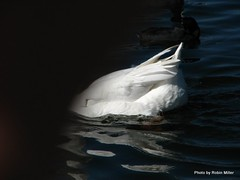 Wing and a Prayer (Robin Miller Photography - westcoastrobin) Tags: art photos it reserved request