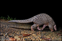 Manis pentadactyla pentadactyla (2010.07.15) (S k i n k) Tags: macro nature nikon 微距 穿山甲 animalsintaiwan skinkhaunt 在台灣的動物 蜥蜴巢穴