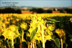 Sunflower's Shame (Luca Casali aka c4p) Tags: summer flower nature yellow back estate natura campagna canon350d campo farms shame fiore girasole vergogna coltivare casa4president sunflowersshame lucacasali