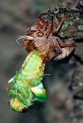 Cicada  Emerges (Darryl W. Moran Photography) Tags: cicada insects lepidoptera monarch ants naturemacro cicadashell hemiptera worldnature colourfulnature wildlifecloseup butterflyphotographs holometabolousinsects newbornnymph brightlycolouredwings agentsofpollination