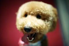 (Appleping) Tags: dog pet cute apple teddy beijing bobi 5d lovely