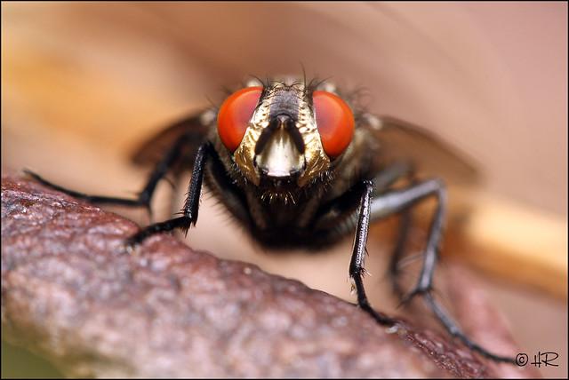 Mouche aux yeux rouges