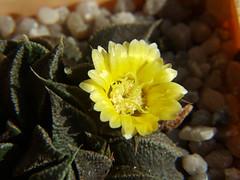 nananthus transvaalensis