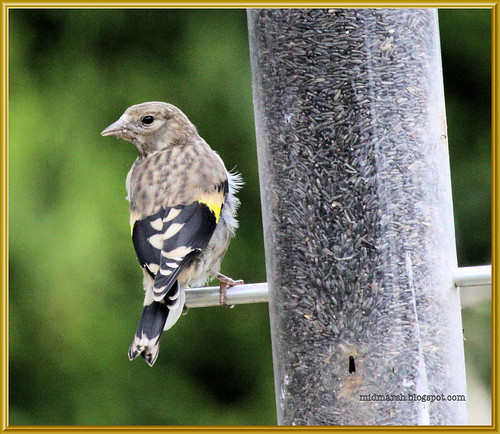 Juvenile Goldfinch 1