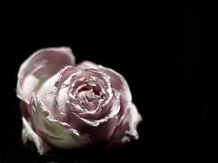 Todo tiene su fin (_Zahira_) Tags: pink black flower rose lafotodelasemana negro flor theend rosa olympus nd fin marchita e500 uro espacionegativo p1f1 ltytrx5 ltytr2 ltytr1 50mmom 50omf18