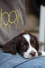 IMG_4382 (chrisgandy2001) Tags: dog cute english puppy cuddly spaniel springer springerspaniel doggy pup englishspringerspaniel englishspringer