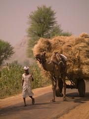 indnr7000053.jpg (Keith Levit) Tags: road india man men green grass pull photography asia fineart country straw countries camel grasses roads hay cart camels carts pulls levit keithlevit keithlevitphotography