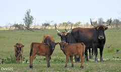 The Heck Cattle family is a bit curious (wandelgraaf(mostly off)) Tags: rind rund flevoland heck oostvaardersplassen oostvaarders heckrind heckrunderen heckcattle henkrund