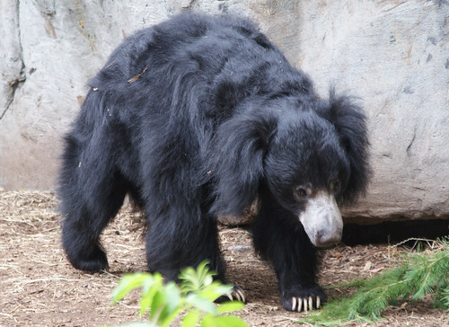 seattle - zoo sloth bear