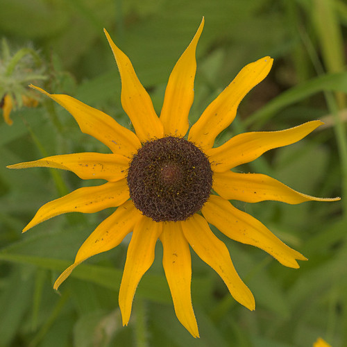 Babler State Park, in Wildwood, Missouri, USA - yellow flower