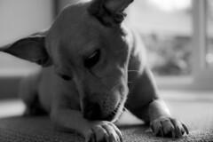Emmy black and white (Zach Bonnell) Tags: blackandwhite dog newfoundland canonxt gander tamron1750f28
