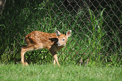 2010 Fawn (DrLensCap) Tags: park white chicago robert nature animal mammal illinois village tail north center il deer fawn kramer whitetail