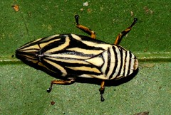 Splittlebug (Aphrophoridae) (cowyeow) Tags: strange forest bug insect indonesia asian weird rainforest asia beetle insects bugs tropical sulawesi indonesian coleoptera ap