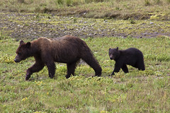 Pack Creek, Alaska (scraplyn2) Tags: alaska wildlife brownbear bearcub packcreek