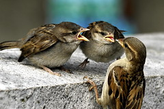jeunes voraces (lachaisetriste) Tags: famille paris nature nikon montmartre oiseau moineau d700