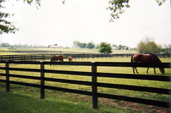 Horses Inside of Black Flex Fence (RAMM HORSE FENCING AND STALLS) Tags: horses animals fence farm lifestyle pasture flex equestrian equine ramm horsefencing
