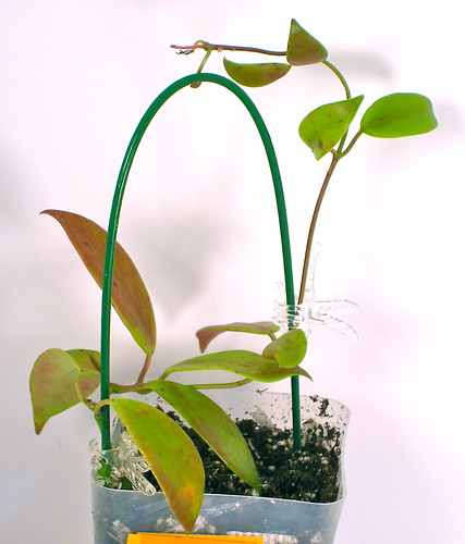 Hoya flavida (IML 0423)