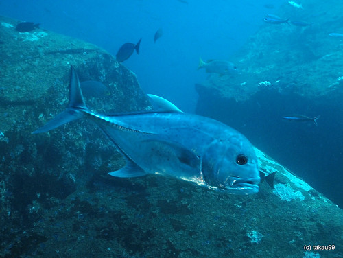 Giant trevally, Thailand